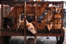 """Yang Rentan Terkena Rabies di """"Industri"""" Olahan Daging Anjing"""