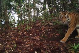 Jalan Panjang Melipatgandakan Populasi Harimau Sumatra