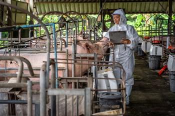 Flu Babi Afrika Menyebar, 100.000 Babi Dibantai