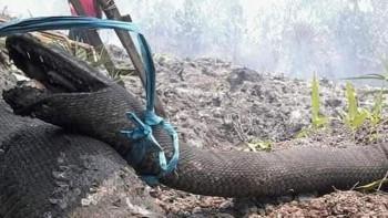Kebakaran Hutan Bunuh Raja Piton, Deretan Hewan Ini di Ambang Kepunahan
