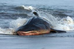 Alarm dari Meroketnya Hewan Laut Terdampar