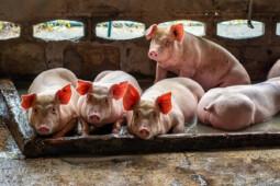 Cerita di Balik Peternak Babi Jadi Orang Terkaya China