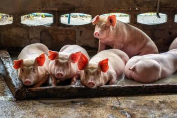 51+ Gambar Babi Salah Beli Terbaik