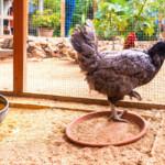 Bila Tiap Rumah Wajib Pelihara Ayam