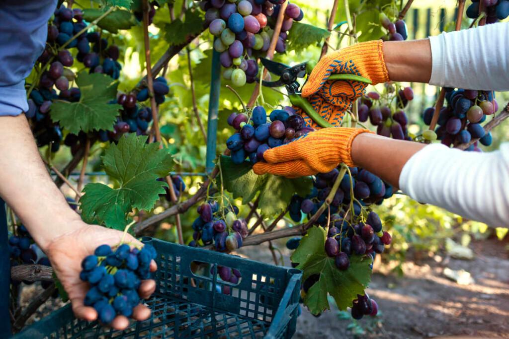 anggur Janetes