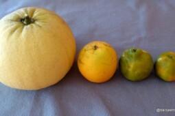 Membedakan Beragam Jenis Jeruk yang Beredar di Pasaran