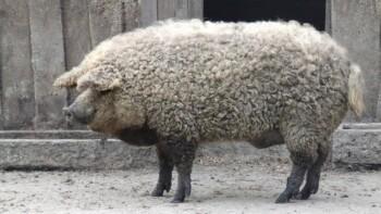 Bulu Babi yang Tidak Mengandung Babi