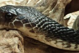 Musim Hujan Banyak Kobra, Begini Cara Aman Mengusir Ular