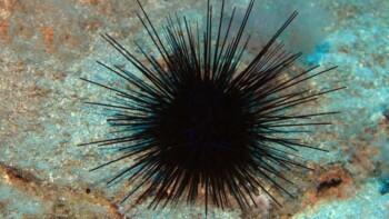 Bulu Babi alias Landak Laut. (Istimewa)