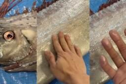 Mitos Ikan Oarfish Jadi Penanda Tsunami, Benarkah?