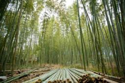 Melawan Dominasi China Lewat 1.000 Desa Bambu
