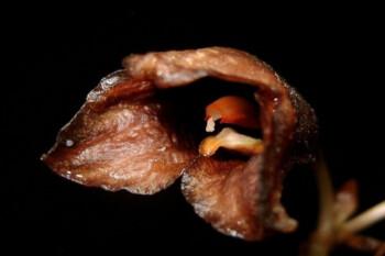 Gastrodia Bambu, Spesies Anggrek Hantu yang Suka Kegelapan