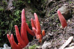 Mematikan, Jamur Koral Api dapat Membunuh dalam Sekali Sentuh