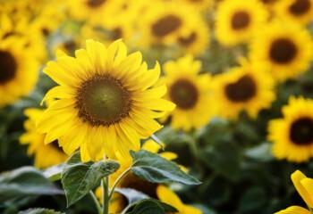 Mengungkap Manfaat Minyak Bunga Matahari untuk Kecantikan