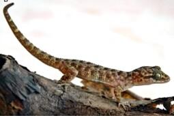 Mengenal Tokek Jatnai, Spesies Reptil Baru Endemik Bali