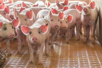 Virus G4 Berpotensi Jadi Pandemi, Ini Tanggapan Pemerintah China