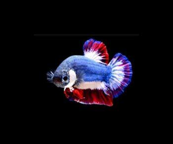 Fakta Ikan Cupang yang Harganya Bisa Mencapai Puluhan Juta Rupiah