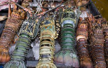 Di Balik Pro Kontra Ekspor, Lima Daerah Ini Hasilkan Lobster Unggulan