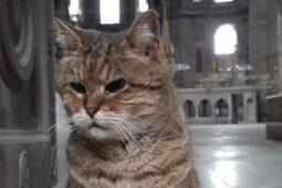 Kisah Gli, Kucing Penghuni Hagia Sophia Kesayangan Wisatawan