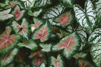 caladium merupakan salah satu tanaman hias murah yang bisa mempercantik rumah (Freepik)