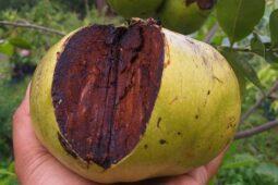 Khasiat Black Sapote, Buah Langka yang Punya Rasa Puding Cokelat