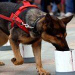 Anjing Pendeteksi Corona Lebih Ampuh Daripada Tes PCR, Benarkah?