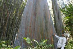 Pohon Pelangi Terindah di Dunia Ada di Indonesia, Dimana Ya?