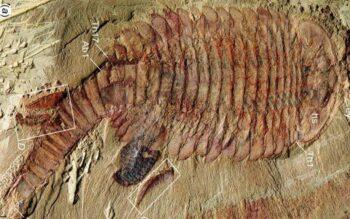 Ditemukan Fosil Makhluk Mirip Udang Bermata Lima