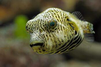 Ikan buntal merupakan salah satu kuliner di Jepang (Freepik)