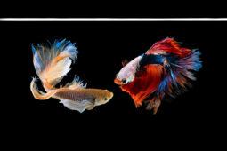 Memelihara Ikan Cupang Ternyata Ada Manfaatnya Loh, Apa Saja Ya?