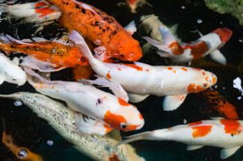 Ini Makanan Ikan Koi yang Tepat Agar Tetap Sehat